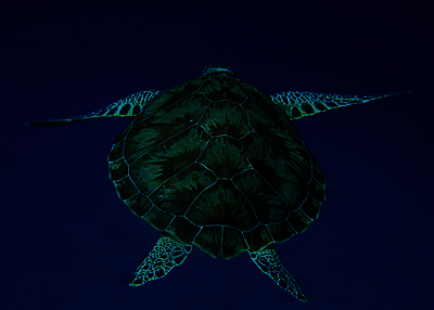 sea turtle in the deep